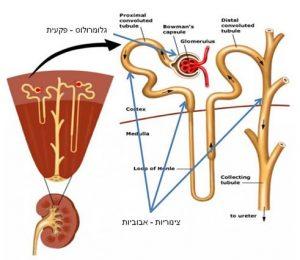 דיאליזה - תפקודי כליה